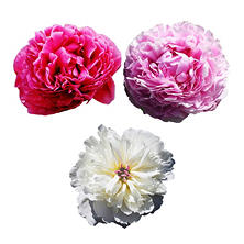 European Peonies, Assorted Colors (60 stems)