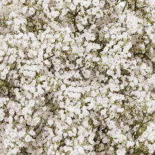 Gypsophila, Premium Million Star (10 bunches)