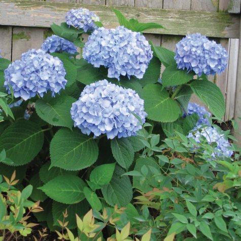 (10-Qt.) Hydrangea Pot - Northeast Gardening