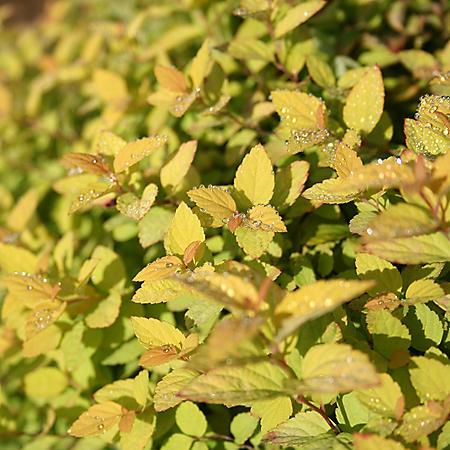 (10-Qt) Premium Spiraea Pot - Southwestern Gardening