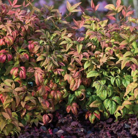 (10-Qt) Premium Nandina Pot - Southwestern Gardening