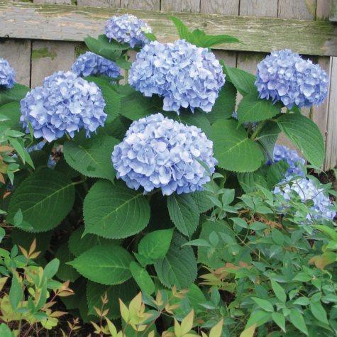 (10-Qt) Hydrangea Pot - Southwestern Gardening
