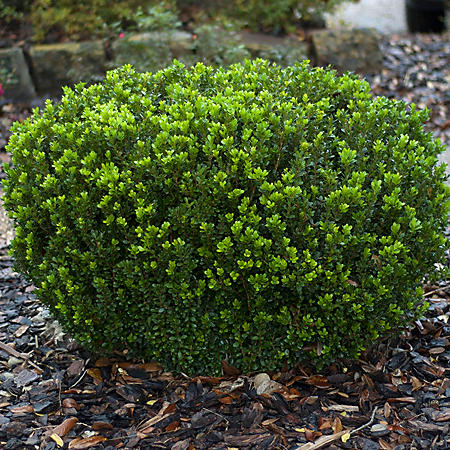 (10-Qt) Boxwood Pot - Northeast Gardening