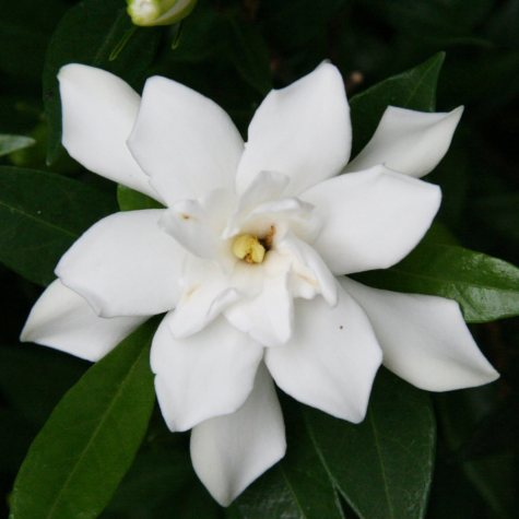 (10-Qt) Gardenia Pot - Northeast Gardening