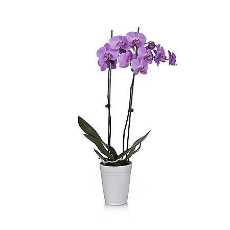 """5"""" Orchid in Decorative Plastic Pot"""