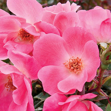 Pink Knock Out Rose Bush