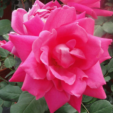 Double Pink Knock Out Rose Bush