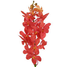 Orchid - Mokara Red - 60 Stems