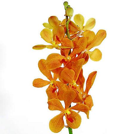Orchids, Mokara Orange (60 stems)