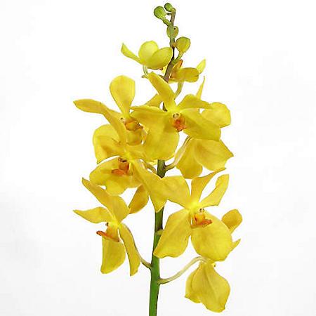 Orchids, Mokara Yellow (60 stems)