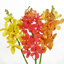 Orchids, Mokara Assorted (60 stems)