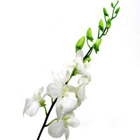Orchids, Dendrobium White (70 stems)