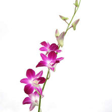 Orchids, Dendrobium Bicolor Purple and White (70 stems)
