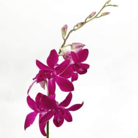 Orchids, Dendrobium Purple (70 stems)