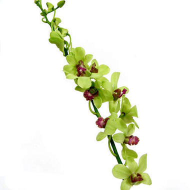 Orchids, Dendrobium Green (70 stems)