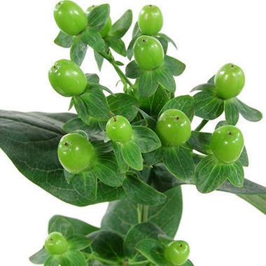 Hypericum, Green (100 stems)