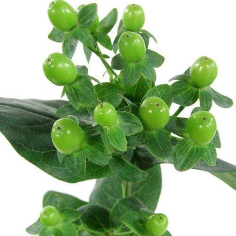 Hypericum, Green (100 stems)