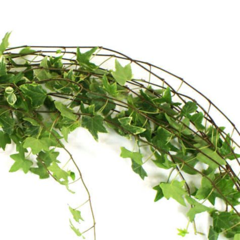 English Ivy - 150 stems