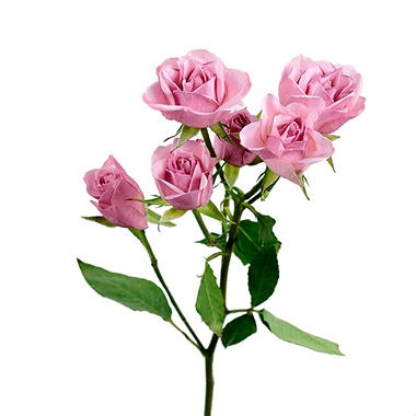 Spray Roses, Light Pink (120 stems)