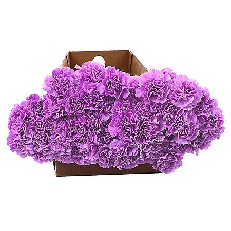 Florigene Carnations, Moonaqua (140 stems)