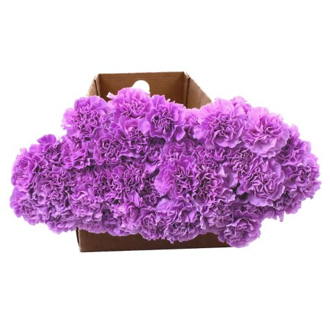 Florigene Carnations, Moonaqua (140 stems)