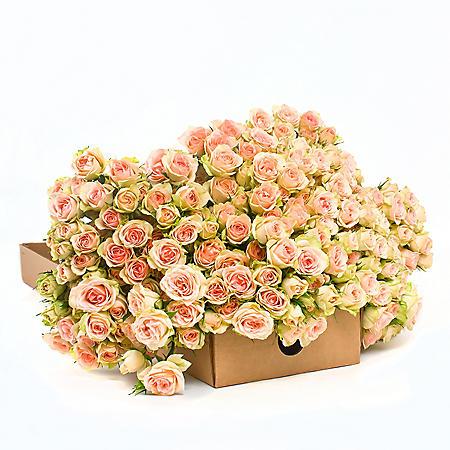 Spray Roses - Chablis (100 Stems)