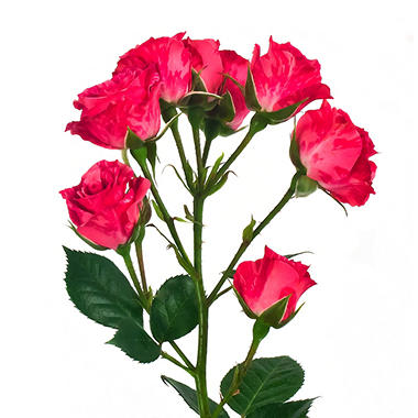 Spray Roses, Pink Flash (100 stems)