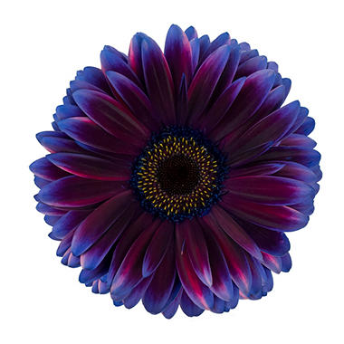 Gerbera Daises - Tinted - Blue & Purple (80 Stems)