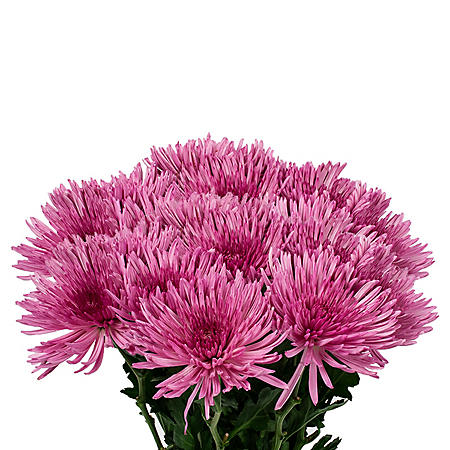 Spider Mums, Light Purple (90 stems)