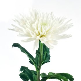 Mums sams club spider mums white 90 stems mightylinksfo