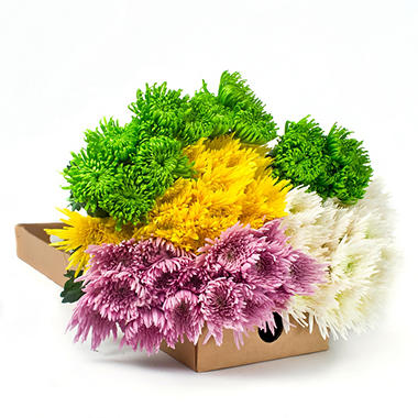 Spider Mums - Assorted Colors - 90 Stems