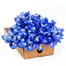 Iris, Blue (100 stems)