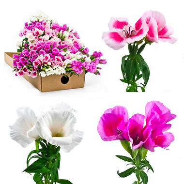 Godetia - Assorted Colors - 200 Stems
