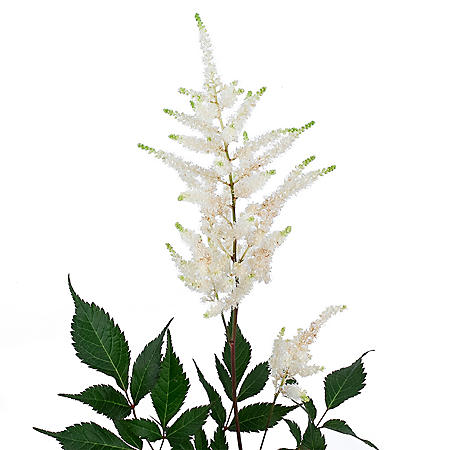 Astilbe Flowers, White (100 stems)