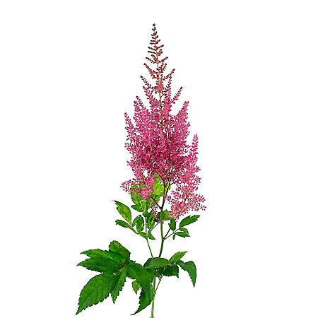 Astilbe Flowers, Hot Pink (100 stems)