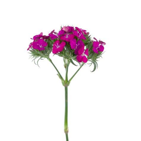 Dianthus Flowers, Purple (100 stems)