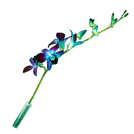 Orchids, Tinted Blue (70 stems)