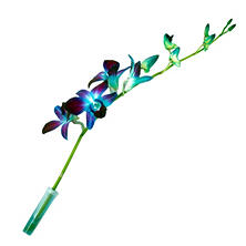 Tinted Orchids, Blue (70 stems)