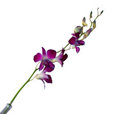 Tinted Orchids, Purple (70 stems)