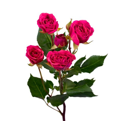 Spray Roses, Hot Pink (choose 60 or 120 stems)