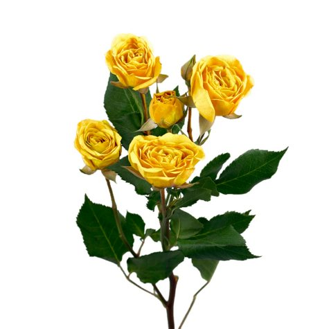 Spray Roses, Yellow (choose 60 or 120 stems)
