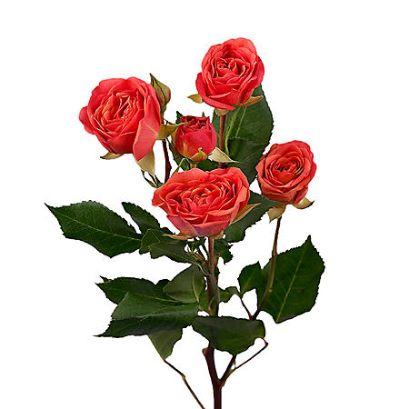 Spray Roses, Orange (choose 60 or 120 stems)