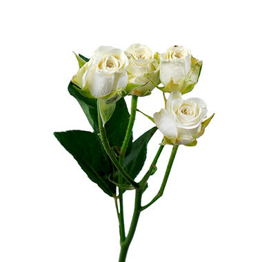 Spray Roses, White (choose 60 or 100 stems)