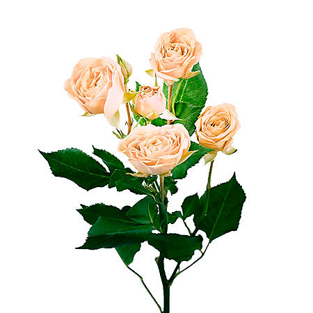 Spray Roses, Peach (choose 60 or 120 stems)