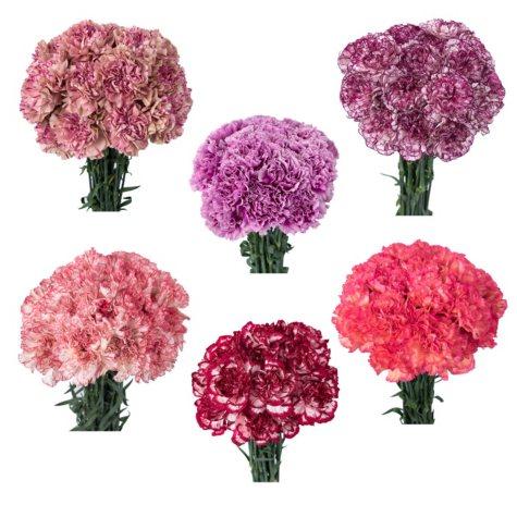 Carnation Bi-Color, Assorted (Choose stem count)