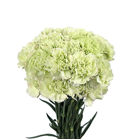 Carnations, Green (300 stems)