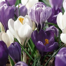 Crocus - 100 Mixed Bulbs