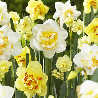 Daffodil - Double Mix - 45 Bulbs