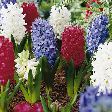 Hyacinth - American Collection - 30 Bulbs