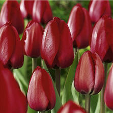 Tulip - Red Impression - 60 Bulbs